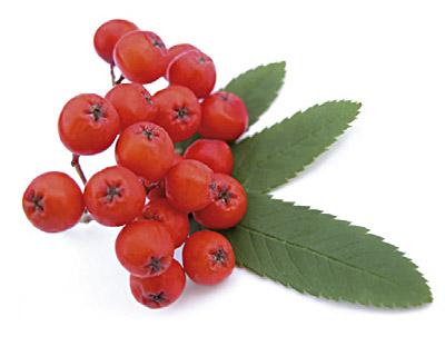 Rowanberries in Chocolate - bulk 2kg